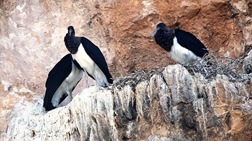 Kayadibindeki yuvada 3 yetişkin ve 1 yavru kara leylek takibe alındı.