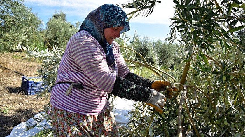 Yüzde 50 hibe desteği ile sofralık zeytin fabrikası kurdu.