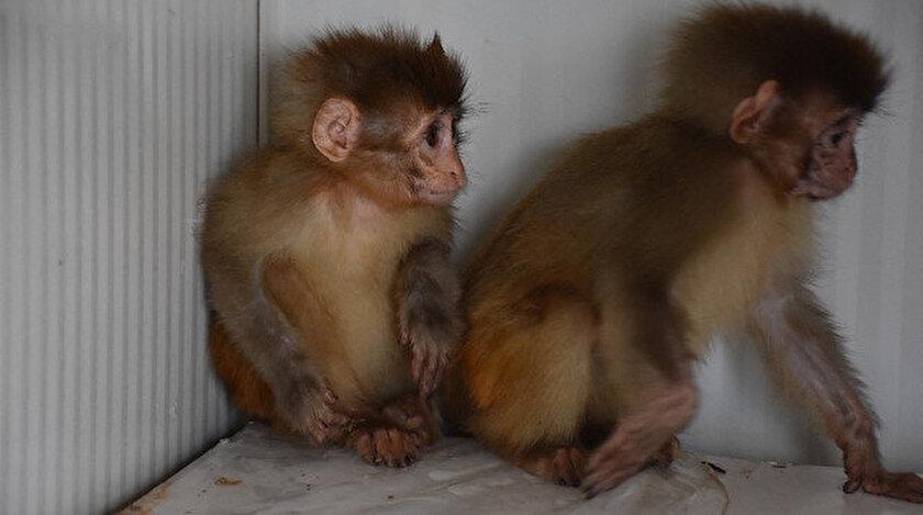 Maymunlar veteriner tarafından tedavi altına alındı.