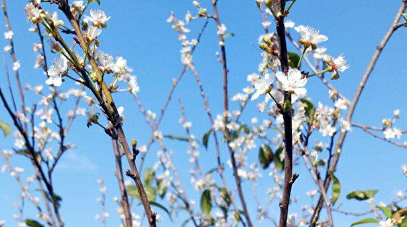 Zamansız çiçek açan erk ağacı