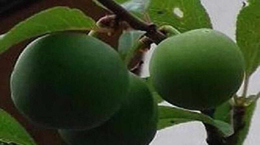 Kasım ayında meyve veren ağaç.
