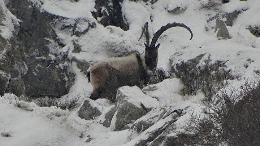 Niğdede koruma altına alınan yaban keçisi sayısı 16 yılda 700den bin 400e çıktı