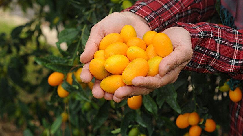 Portakal, mandalina, bergamot, limon gibi turunçgiller ailesinden kamkat, 'turunçgillerin mücevheri' veya 'altın portakal' olarak anılıyor.
