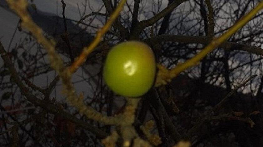 Erik ağacı, aralık ayında meyve verdi.