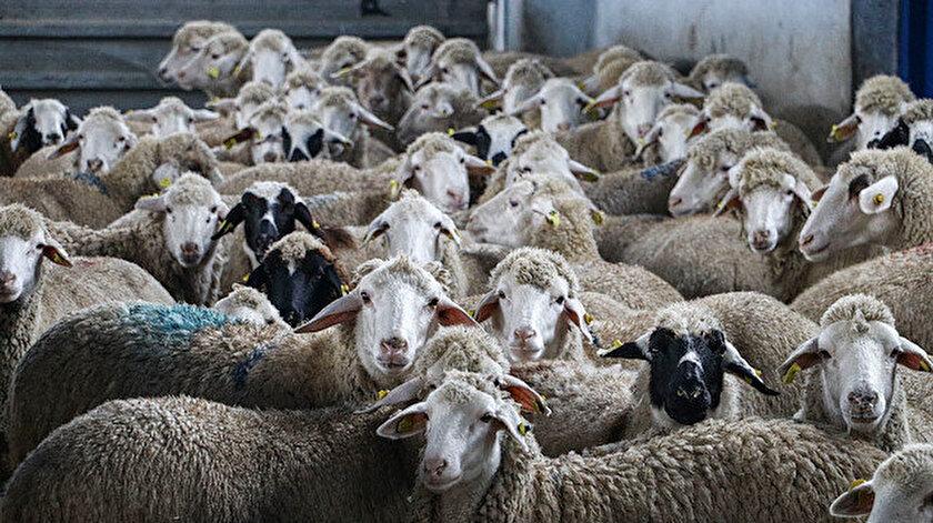 Türkiye'yi temsil edecek şekilde 21 koyun ve  5 keçi ırkında soy kütüğü kayıt sistemi oluşturulacak.