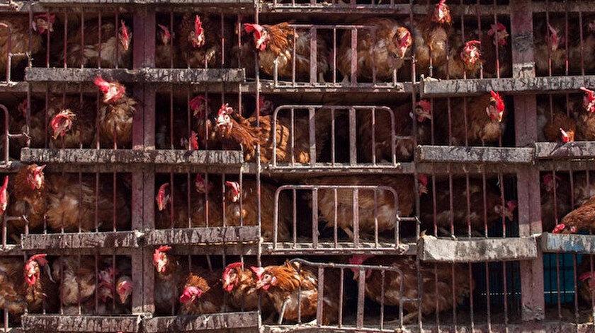 Çinde kuş gribi salgını: 17 binden fazla kanatlı hayvan itlaf edildi