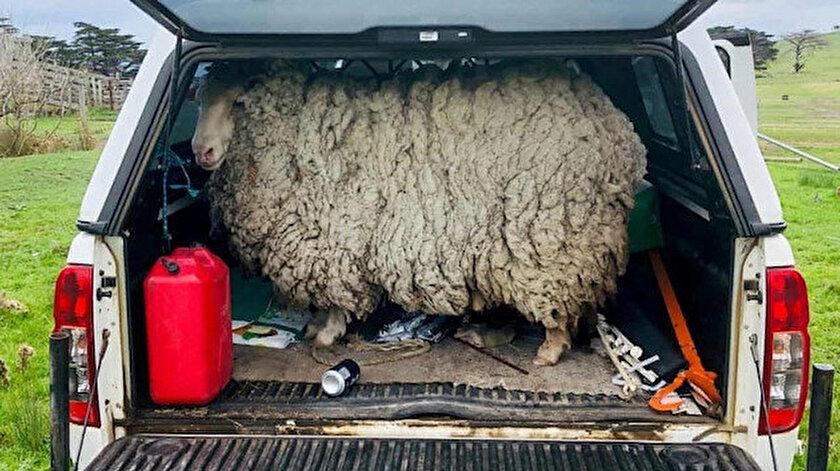 7 yıl firari yaşayan koyunun yünü satışa sunuldu.