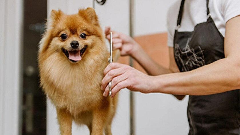 Pomeranian Bakımı ve Özellikleri