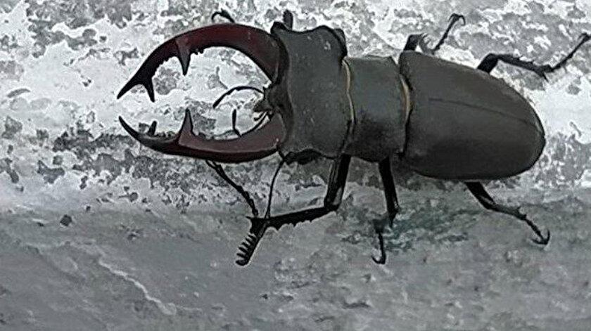 Geyik böceği