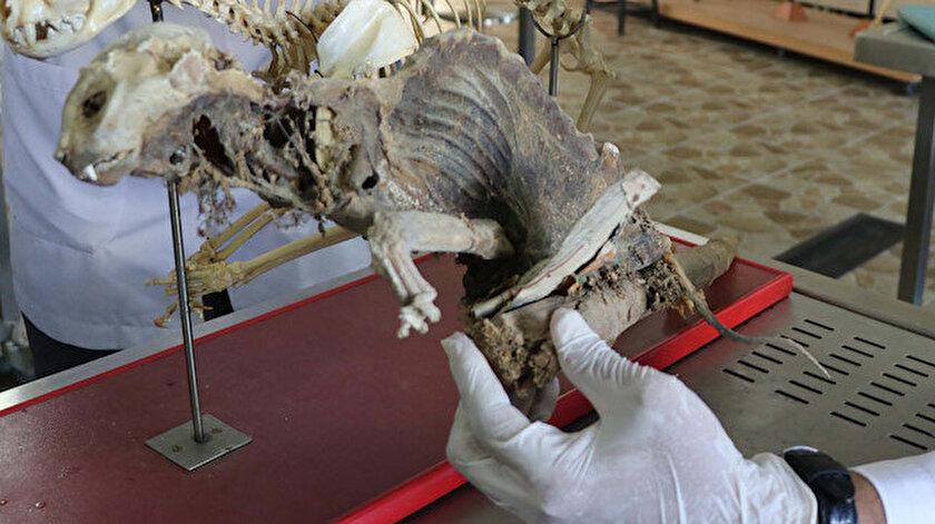 Yapılan incelemenin ardından hayvan iskeletinin röntgeni çekildi ve sansar olduğu tespit edildi.