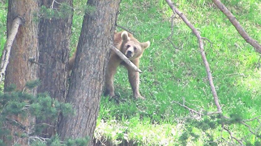 Uydu vericileri ile takip edilen ayıların Sarıkamış'tan Şavşat'a göç ettikleri belirlendi.