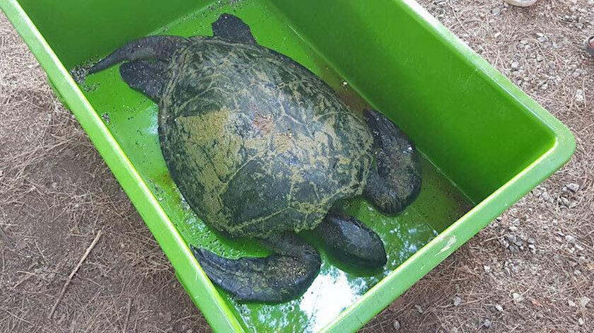 Deniz kaplumbağasının beslenemediği için telef olduğu düşünülüyor.