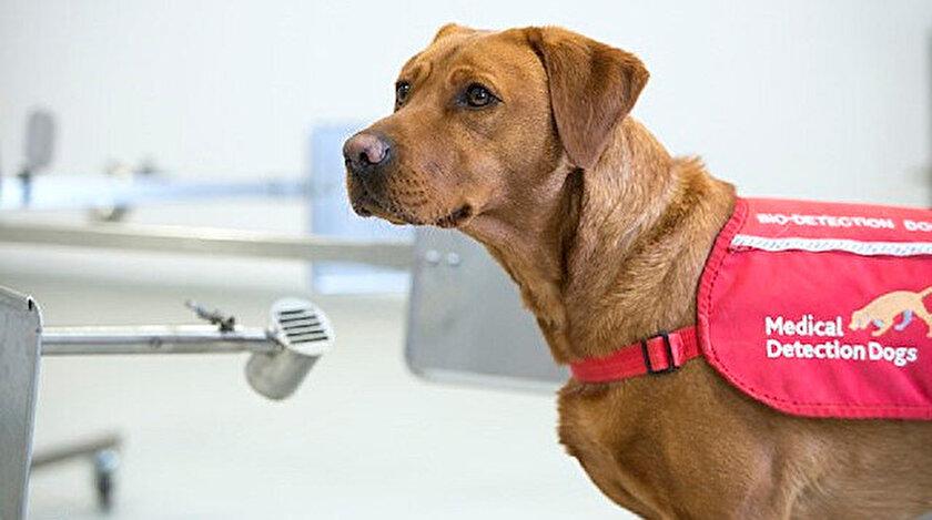 Koronavirüs haberleri: Köpekler saniyeler içinde koronavirüslü hastayı tespit ediyor