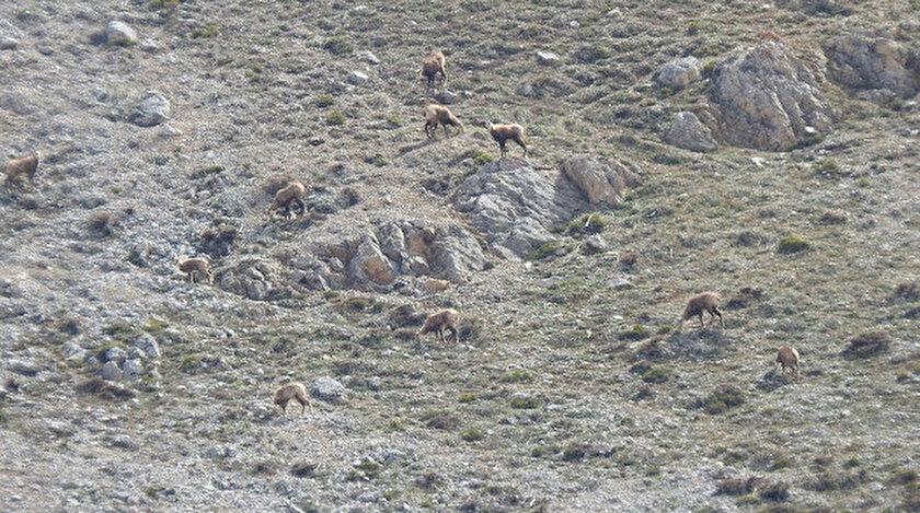Erzincanda ortaya çıktılar: Sürü halinde böyle görüntülendi
