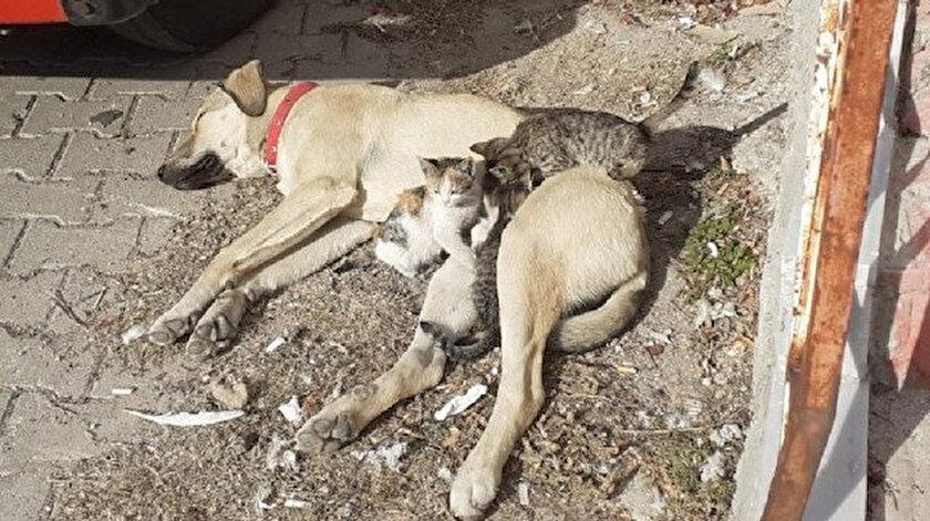 Kütahya haberleri: Labrador cinsi köpek kedi yavrularına annelik yapıyor