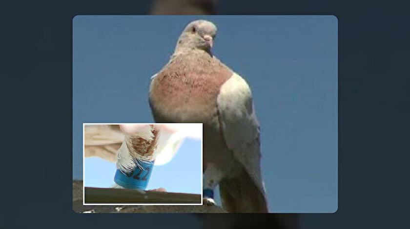 """Avusturalya'ya 13 bin km yoldan gelen güvercin """"virüs getirebilir"""" şüphesiyle telef edilecek."""