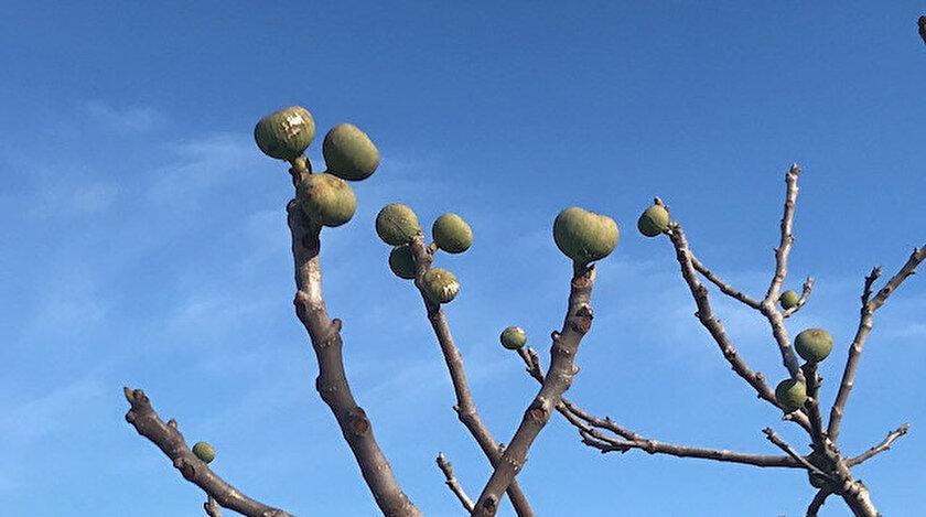 Kış ortasında meyve veren incir ağacı.