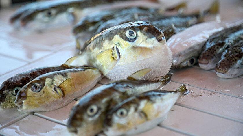 Özellikle balıkçıların ağlarına zarar veren, kendi türlerini tüketen, her türlü canlıya saldıran ve tenekeyi dahi güçlü dişleriyle parçalayan balon balığının Akdeniz'deki popülasyonu arttı.