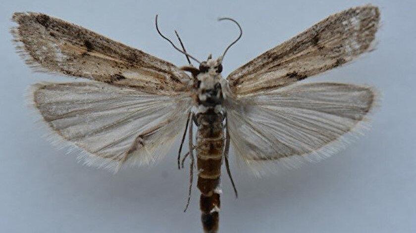 Ağrı Dağında yeni bir kelebek türü tespit edildi