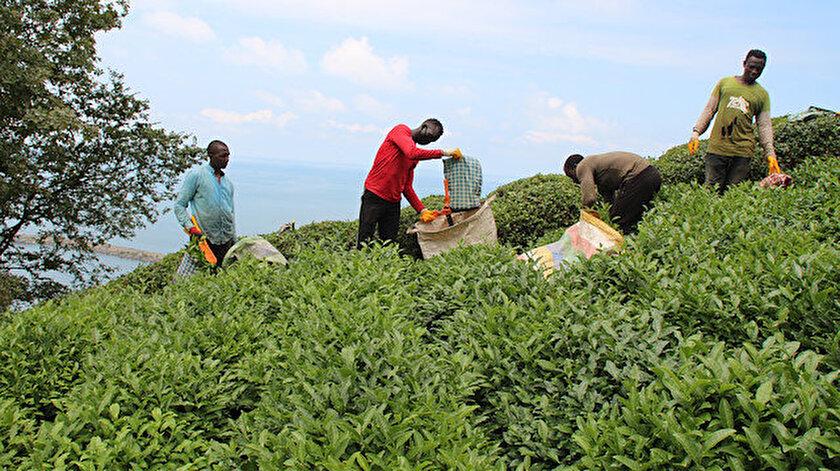 Doğu Karadeniz'e çay işçisi göçü başladı: Kritik uyarı geldi