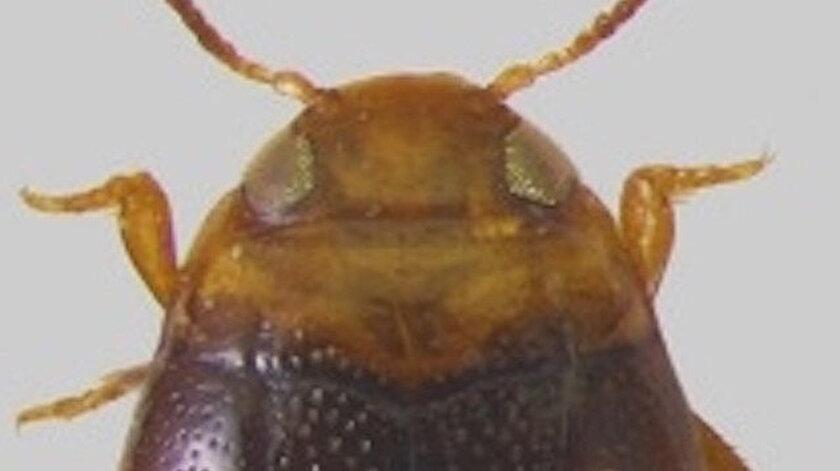 Adıyamanda yeni bir böcek türü keşfedildi: Bidessus anatolicus adiyaman adı verildi