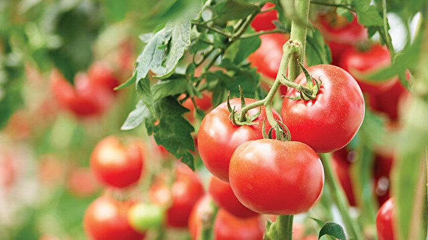 İthal tohumda virüs alarmı: Domates, biber ve kabak tohumuna bitki sağlığı şartı