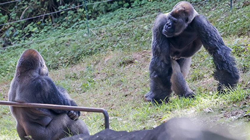 ABDdeki hayvanat bahçesinde Kovid-19a yakalanan gorillerin sayısı 18e yükseldi