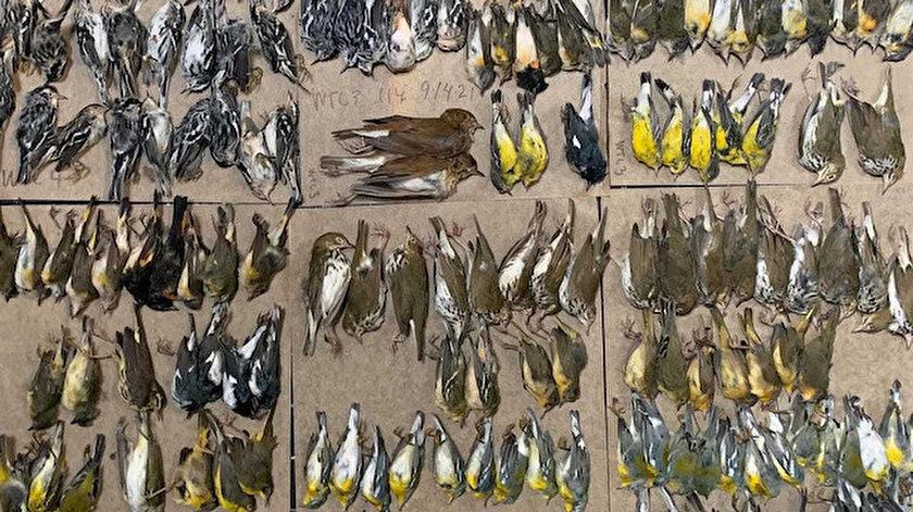 New Yorkta şok eden görüntü: Yüzlerce göçmen kuş gökdelenlere çarparak öldü