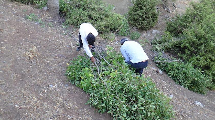 Kuraklıktan dolayı saman biriktiremeyen besiciler meşe yaprağı stokluyor