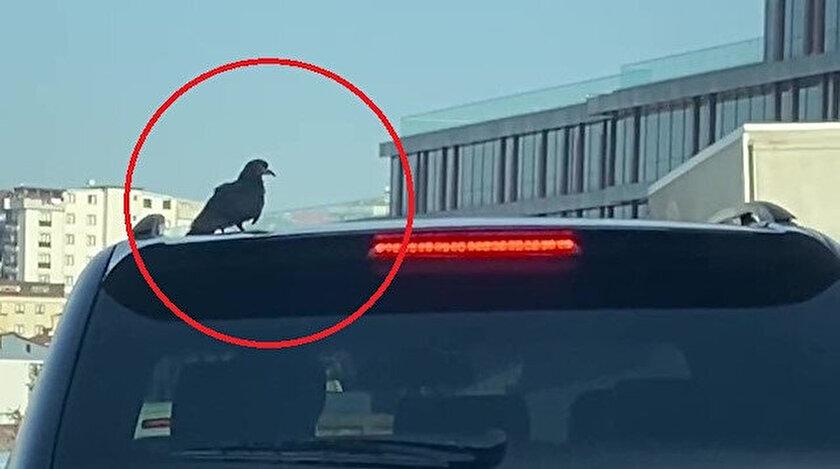 Uyanık karga uçmayı bırakıp arabanın üzerinde seyahat etti