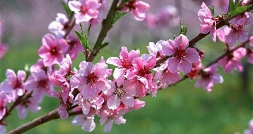 Kayısı ve şeftali ağaçları çiçek açtı