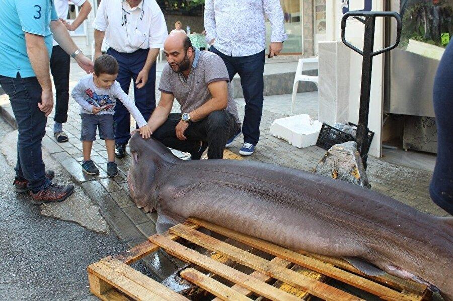 Bursa açıklarında avlanan balıkçıların ağına biri 700, diğeri 500 kilogram ağırlığında 2 köpek balığı takıldı. (İHA)