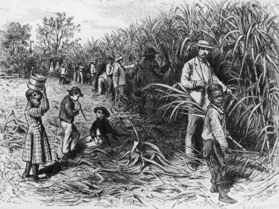 Şeker kamışı tarlasında çalışan köleler.