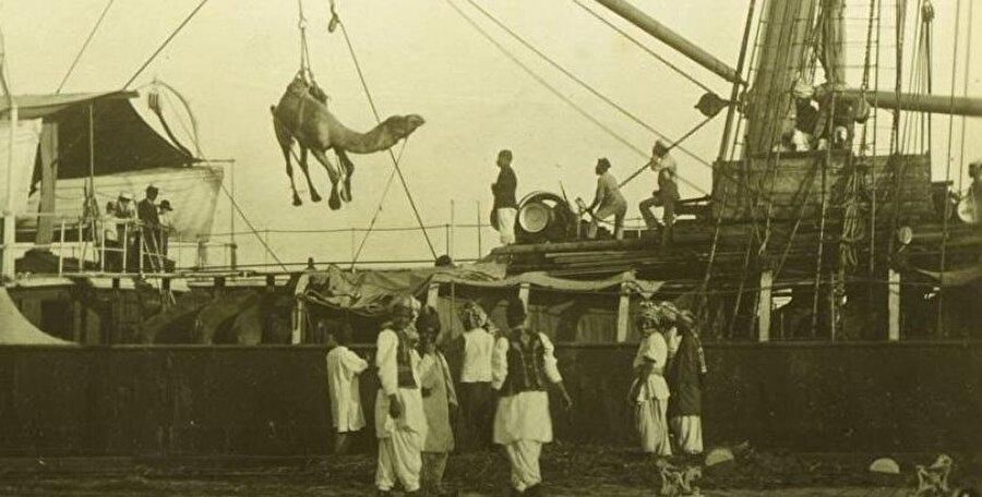Afganistan'dan getirilen develer Melbourne limanında gemilerden indiriliyor.