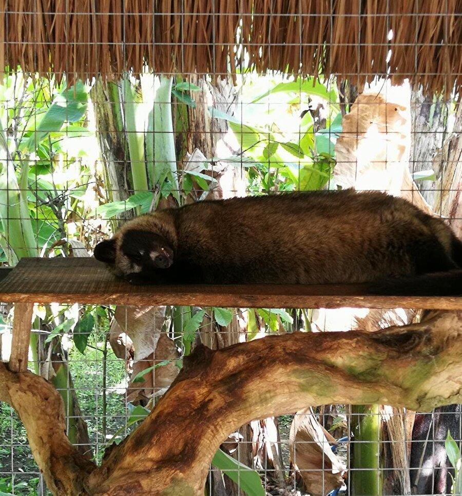 Bu tembel kedi, dünyanın en pahalı kahvesini üretiyor. (Fotoğraf: Hatice Sarı Tan)