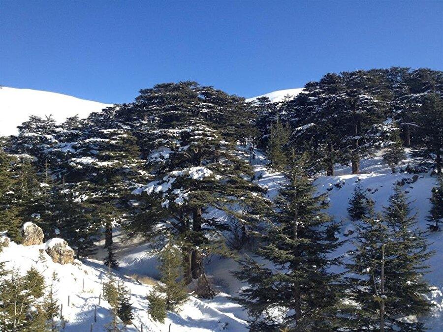 Lübnan'a ismini veren karlı dağlar, sedirin de ana vatanıdır.