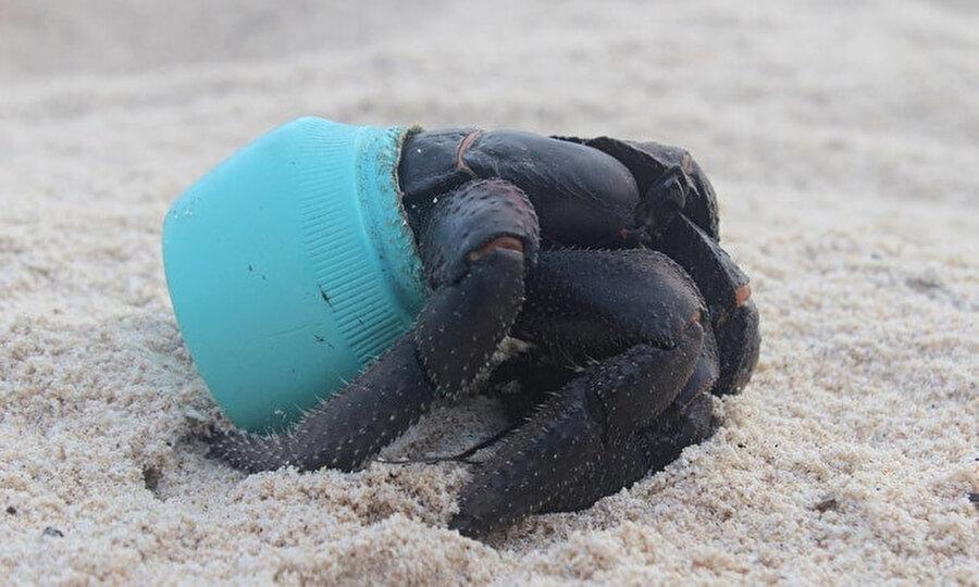 Doğal yaşam alanında kafası plastiğe sıkışan bir yengeç.