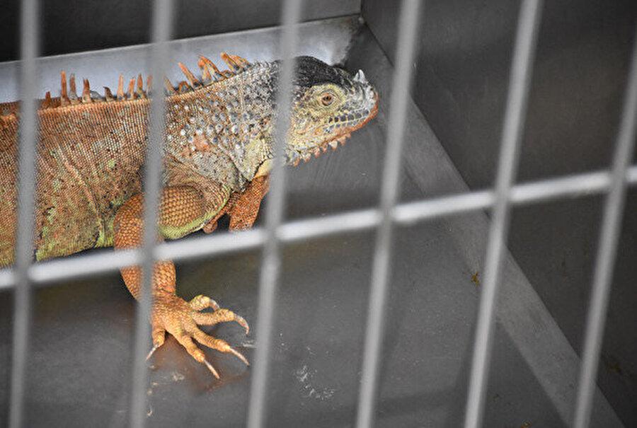 İguananın, tedavisinin ardından, Doğa Koruma ve Milli Parklar Müdürlüğü ekiplerine teslim edileceği öğrenildi.