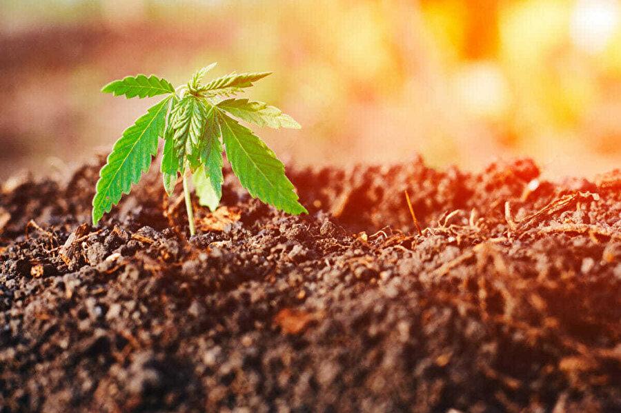Bir dönümlük kenevir, 25 dönümlük orman kadar oksijen üretir.
