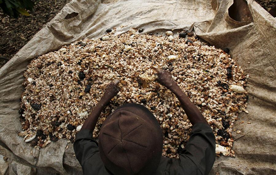 Fildişi Sahili'nde bir kakao işçisi.
