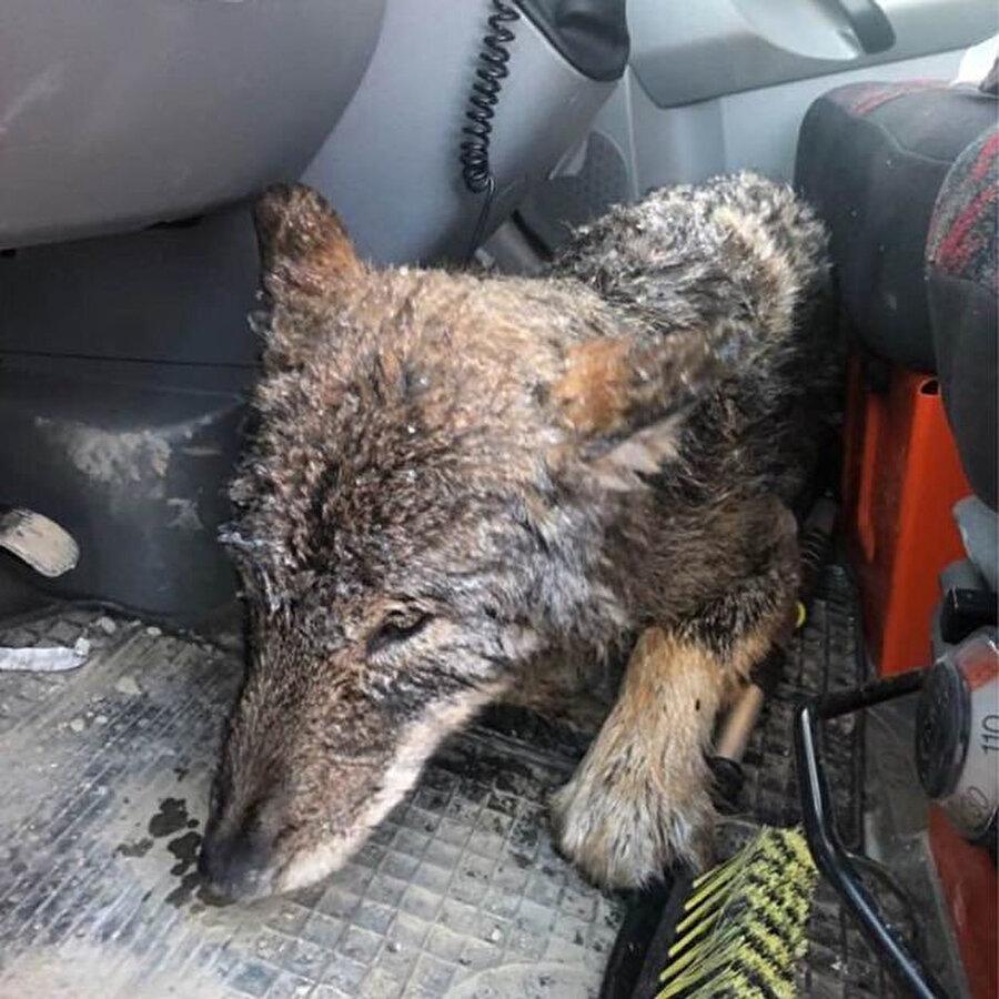 Kurdu kurtaran işçilerden biri, kurdun veteriner kliniğine giderken sakin olduğunu söyledi.