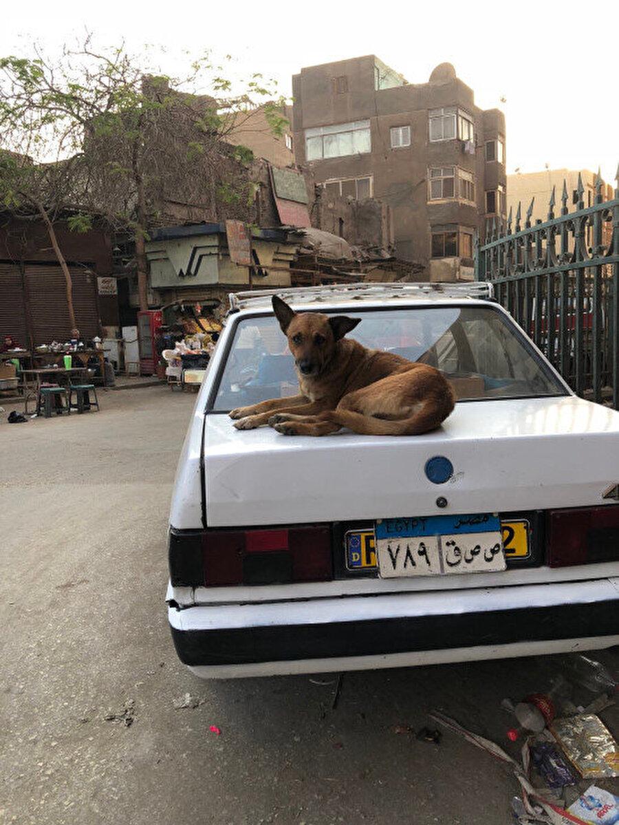 Kahire'de göreceğiniz enteresan şeylerden sadece birisi, köpeklerin arabaların üzerinde yatması.