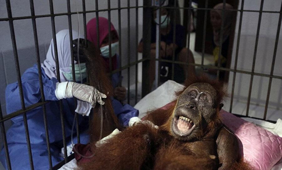 Orangutan görme yetisini kaybetti.