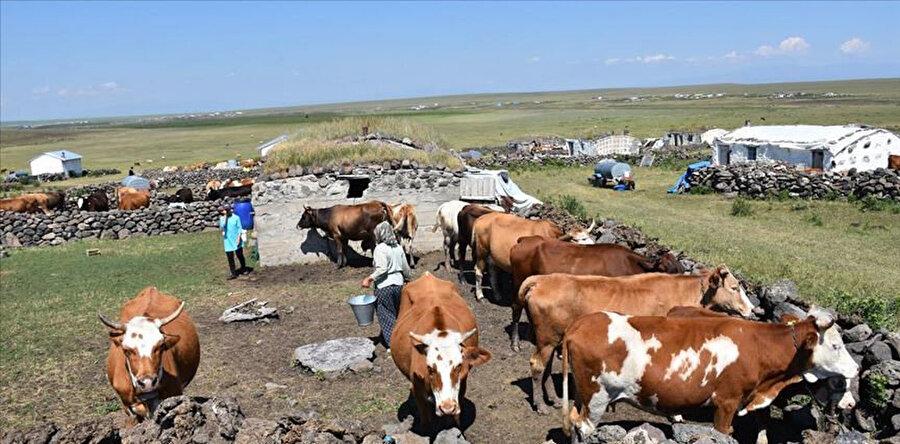 Kars'ta köylüler yaz aylarında hayvanlarını daha verimli toprakların olduğu yaylalara götürüyor