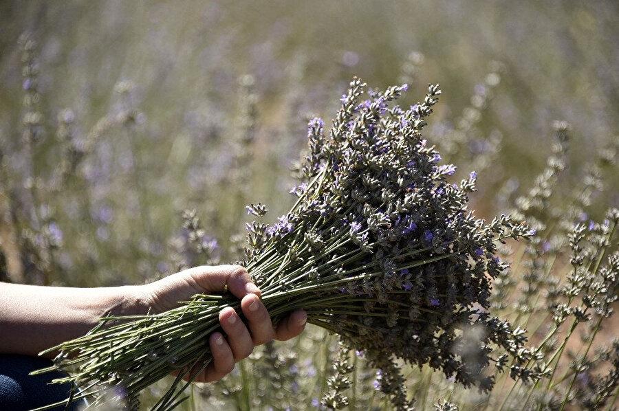 30 yıl boyunca çiçek açan lavanta dönüm başına her yıl güncel fiyatlarla üreticiye en az 5 bin lira gelir sağlayacak.