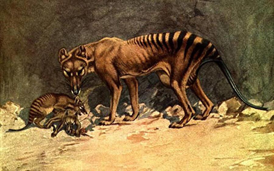 Tazmanya kaplanları, tıpkı kangurular gibi yavrularını içinde taşıyabildikleri keselere sahipti.