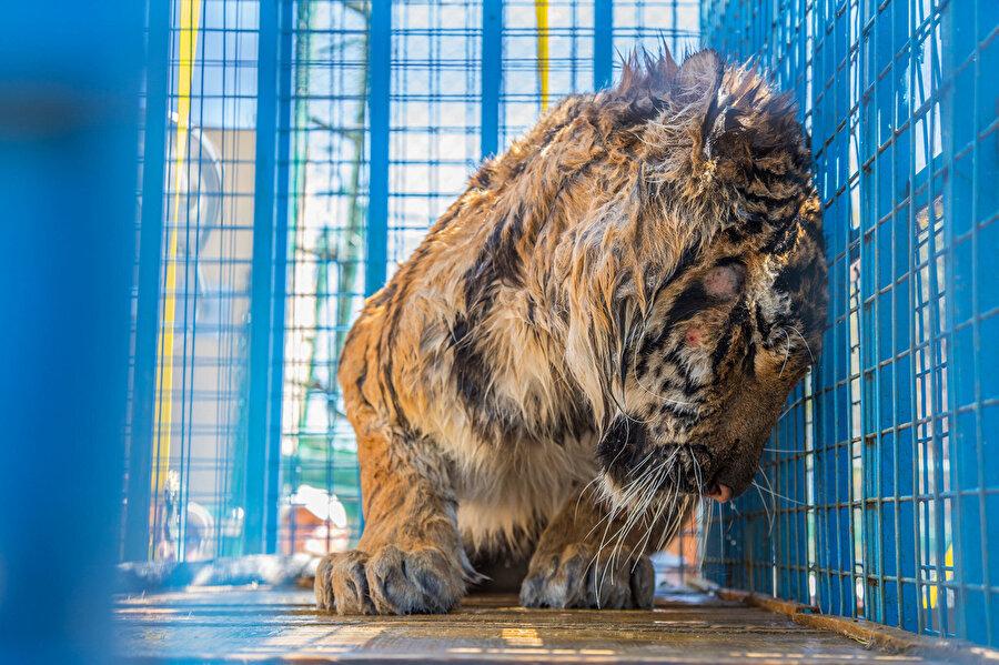 Hayvanat bahçesinde susuz kalan bir kaplan. (National Geographic)