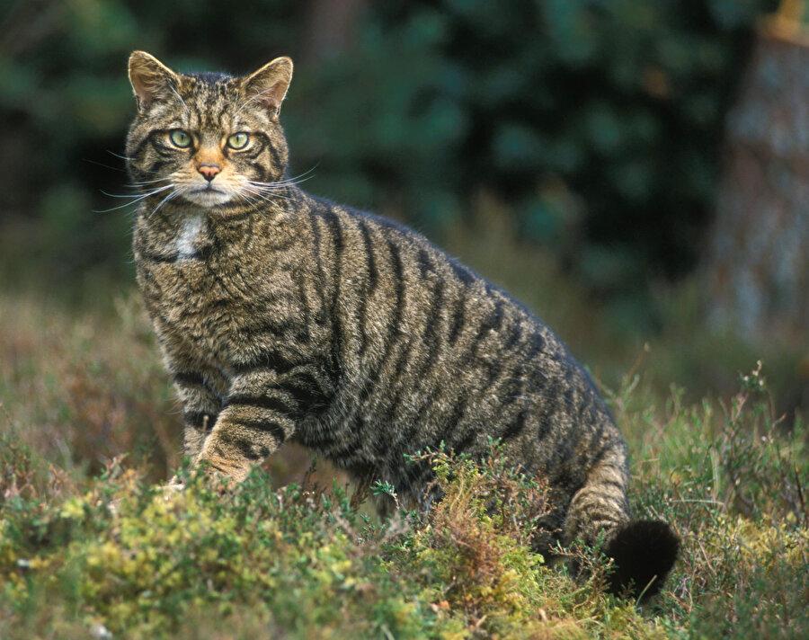 Felis Silvestris (Avrupa Vahşi Kedisi)