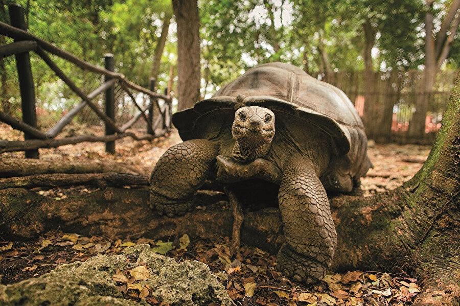 Prison Island'da yaşları 300'e yaklaşan dev kaplumbağaları görebilirsiniz.