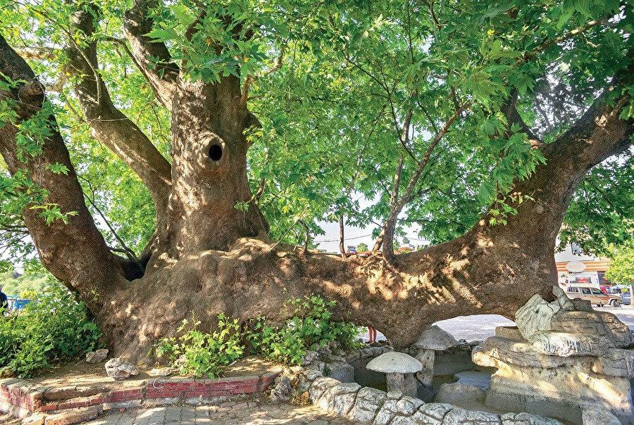 700 yıllık efsanevi bir 'Ağlayan Çınar'.